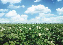 Aardappelveld-